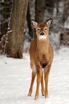 White-Tail Deer and Snow by Christina Rollo © www.rollosphotos.com. White-tailed Deer (Odocoileus virginianus) standing in snow on the edge of a forest in winter.