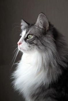 ノルウェージャンフォレストキャット : モフ猫! ノルウェージャンフォレストキャットの画像集 - NAVER まとめ Cute Cats And Kittens, Baby Cats, Pretty Cats, Beautiful Cats, Animals And Pets, Cute Animals, Cat Reference, Cat Pose, Siberian Cat