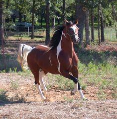pinto racking horses | oregon horse association sturdy horse and discipline to jump horse ...