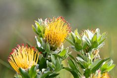 Glorious Wild Flowers of the Fynbos Trees To Plant, Wild Flowers, South Africa, Beautiful Flowers, African, Yellow, Places, Garden, Pretty Flowers