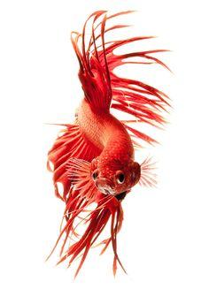 contemplez-la-grace-sublime-des-poissons-combattants-a-travers-leur-danse-envoutante-8