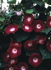 Pase Seeds - Morning Glory Ipomoea Crimson Rambler Annual Seeds, $3.29 (http://www.paseseeds.com/morning-glory-ipomoea-crimson-rambler-annual-seeds/)