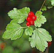 taikinamarja --Ribes alpinum (ei myrkyllinen)