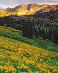 Alpine Sunflowers in Albion Basin, Little Cottonwood Canyon, Wasatch Mountains, Utah Wasatch/Cache National Forest Albion Basin, Utah Adventures, Cottonwood Canyon, Salt Lake City Utah, National Forest, Park City, Wyoming, Scenery, Places To Visit