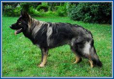 Terrific Sable German Shepherd Dog More Design http://joesquest.com/dog-breeds/sable-german-shepherd-dog/