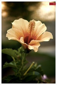 Hibiscus. Soft hues.  So many colour options available, great for Summer flowering