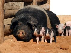 Raising Hogs on Your Homestead - Sustainable Farming - MOTHER EARTH NEWS. I love this paper or Source since the and am a big fan of theirs for accurate info. Pig Farming, Backyard Farming, Hog Pig, Homestead Farm, Future Farms, Sustainable Farming, Mother Earth News, Mini Farm, Hobby Farms