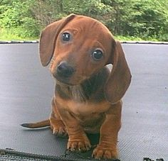 Send us the cutest, most adorable picture of your dachshund: http://dogdogs.xyz/dachshund-photo-gallery/