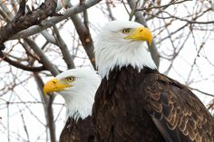 Bald Eagles Pairs in Klamath Falls, Oregon. The best time to spot these majestic creatures are during the Winter Wings Festival, or really when winter migrations starts and food is aplenty. Photo by evalee40,