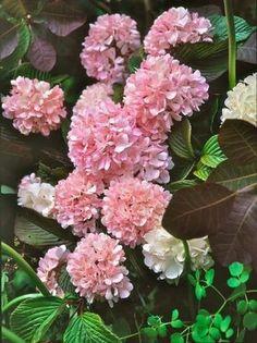 Viburnum plicatum kerns pink fragrant viburnum plicatum pink viburnum flowering mightylinksfo