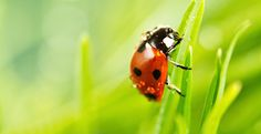 Ladybug on a blade of grass -- TakePart -- 2-20-16 -- Copyright Onelia PG Photography, Getty Images