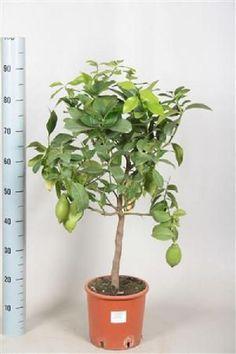 Lemon Tree 80-100cm Plant Fruit Indoor Outdoor Beautiful Flowers Garden NEW