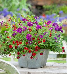 Doorstep or large living table centre pot, in jewel-like colours & velvet textures. Exceptionally long-flowering even without deadheading - highly recommended.