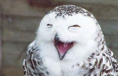 I love owls!  another laughing owl