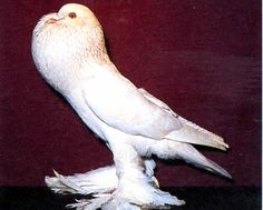white doves with feathered feet - Google Search