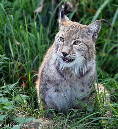 Lynx - Parc Animalier de Sainte-Croix  October 2014 10 by Ralf Reinecke