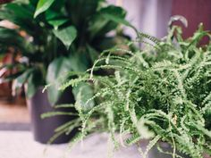 Lemon Button Fern - Houseplants 101: Choosing the Right Indoor Greenery on HGTV