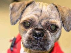 SAFE ♡ CODY – A1119790  **SAFER : NEW HOPE RESCUE ONLY**  MALE, BR BRINDLE, SHIH TZU MIX, 2 yrs STRAY – STRAY WAIT, HOLD FOR EVENT Reason STRAY Intake condition UNSPECIFIE Intake Date 07/25/2017, From NY 11238, DueOut Date 07/28/2017