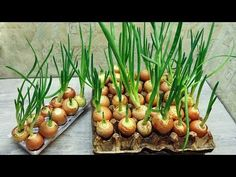 Growing green onions without land on the balcony. Vegetable Garden, Garden Plants, Indoor Plants, House Plants, Green Onions Growing, Growing Greens, Regrow Vegetables, Beautiful Home Gardens, Organic Farming