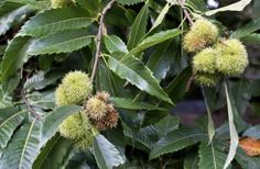 Chestnut Tree Care: Guide To Growing Chestnut Trees -  Chestnut trees have been cultivated for their starchy nuts for thousands of years. If you are thinking of growing chestnut trees, click on the article that follows for tips and information about chestnut tree care.