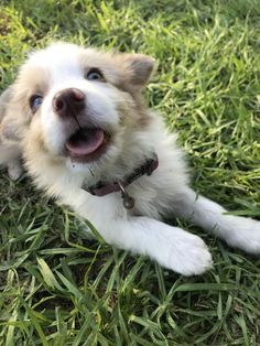 Marshall - Designated the cutest pupper https://ift.tt/2J5mUlr #Puppy #Puppies #Pics #Dog #Adopt #Pets #Animals