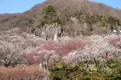 Mountain covered with plum trees! wonderful world!
