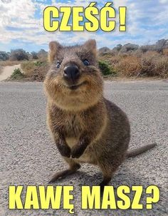 Weekend Humor, Good Sentences, Quokka, Man Humor, Brown Bear, Animals And Pets, Good Morning, Haha, Cartoon