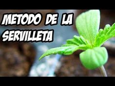 Te mostramos el método de la servilleta para germinar nuestras semillas