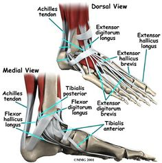 The difference between a strain and a sprain; a ligament and a tendon. Take a closer look at injuries and how to cope throughout the recovery process. Ankle Anatomy, Foot Anatomy, Ligaments And Tendons, Human Anatomy And Physiology, Anatomy Organs, Medical Anatomy, Sprained Ankle, Muscle Anatomy, Anatomy Reference