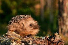 Damp hedgehogs fight for survival Animals Images, Cute Animals, Forest Photography, Woodland Fairy, True Nature, Conservation, Habitats, Wildlife, Survival