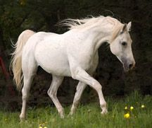 shagya arabian | HorseAdvice.com Equine & Horse Advice: Shagya Arabian Registry