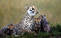 Cheetah mother shakes off rain with bedraggled cubs, Maasai Mara, Kenya  Picture: Paul Goldstein / Exodus / Rex Features
