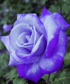 Beautiful Rose Flowers, Amazing Flowers, Purple Roses, Lilac, Hybrid Tea Roses, Belleza Natural, Simply Beautiful, Flower Arrangements, Garden