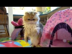 13 05 22 Play hour with Mythicbells Persian kitties
