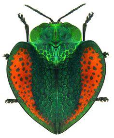 Peruvian Beetle (Stolas mannerheimi) by Udo Schmidt