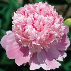 'Mons. Jules Elie'   A very popular rose pink double for decades in North America.  This early French heirloom hybrid is prized for its plant vigor and bloom performance.  A  commercial favorite for cutting.  Its large flowers need support.