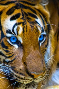 Tiger by Jack Benson on 500px