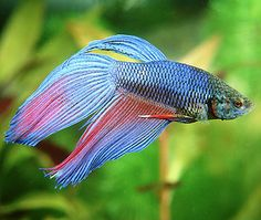 1000 images about pet fish on pinterest pet fish fish for What type of water do betta fish need