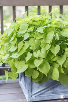 Sweet potato vines grow large in direct, hot sunlight and are perfect for . - Sweet potato vines grow large in direct, hot sunlight and are perfect for … # direct # own # pota Plants For Planters, Porch Plants, Sun Plants, Summer Plants, Cool Plants, Outdoor Plants, Container Plants, Green Plants, Container Gardening