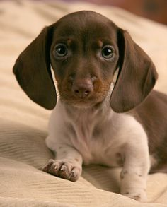 """Explore our web site for more info on """"dachshund puppies"""". It is actually a superb spot to learn more. Weenie Dogs, Dachshund Puppies, Cute Puppies, Cute Dogs, Dogs And Puppies, Doggies, Poodle Puppies, Chihuahua Dogs, Piebald Dachshund"""