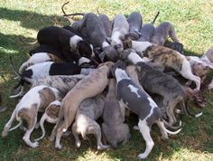 Whippet Puppy Party!!!