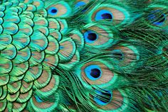 Some say that peacock feathers are bad luck - but they are used to ward off the Evil eye! (So pretty too!)