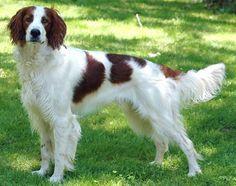 Irish Dog Breeds, Large Dog Breeds, Large Dogs, Akc Breeds, Cool Pet Names, Dog Names, Irish Setter, English Setter, Red And White Setter