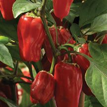 """Semi  Sweet Pepper """"Sweet Heat"""" Italian- These are more bell shape go from green to red when mature. They are sweet and mildly spicy like a pepperoncini, with a great smoky flavor."""