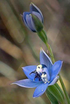 Black Hooded Sun Orchid (Thelymitra atronitida) Tasmania