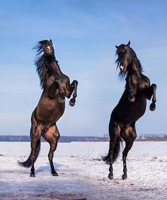 Misleading: This is not two horses rearing at the same time. But rather the same horse under different lighting at different times of day. Note the identical markings, the different lighting on the animals, and the lack of shadow behind the darker one.