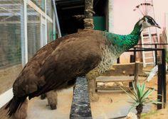 36 Batu Caves, Bird, Animals, Animales, Animaux, Birds, Animal, Animais
