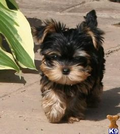 Darling Yorkshire pup.