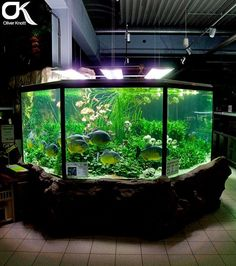 Aquário plantado com piranhas