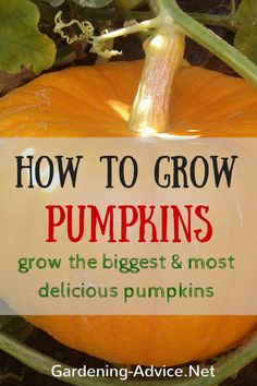 Did You think about Growing Pumpkins for Halloween? These growing tips will help you to grow delicious pumpkins. Learn about planting pumpkin seeds, varieties and how to keep your plants healthy
